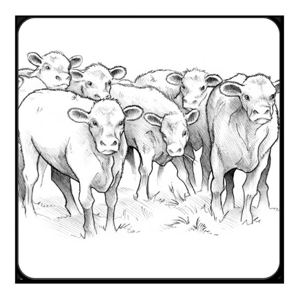 Jeunes bovins