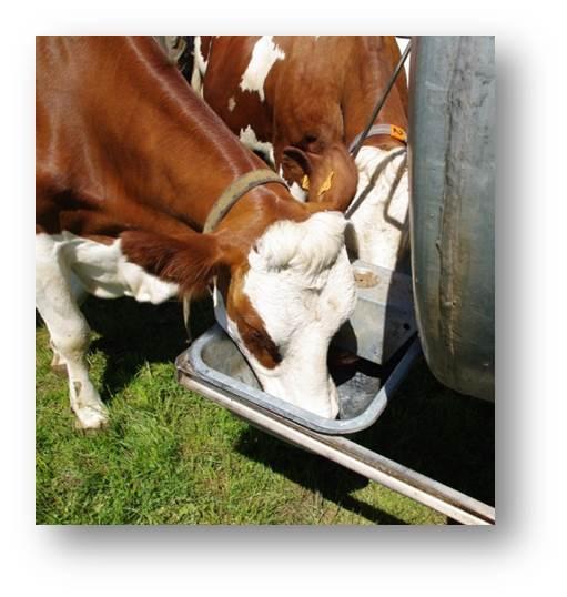 Les vaches et l'eau Velay Scop